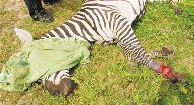 中国青年在肯尼亚新春活动:为野生动物剪去致命铁丝
