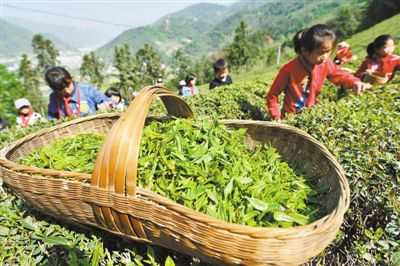 采春茶 学农事 教育实践走进生态园