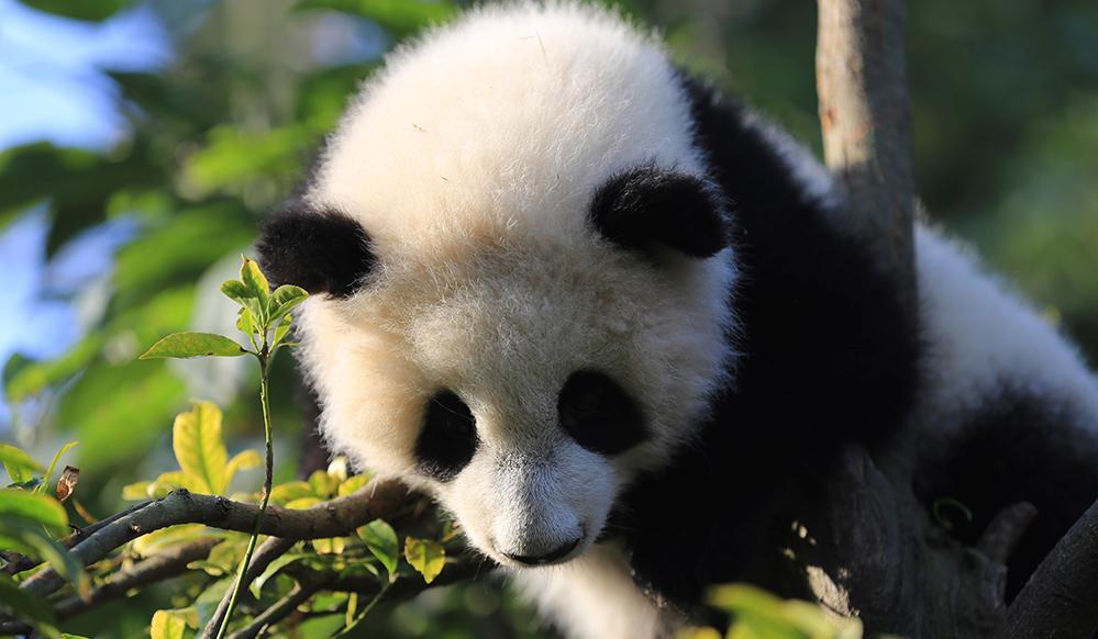 VR影片《守护自然奇迹 大熊猫》中文版亮相