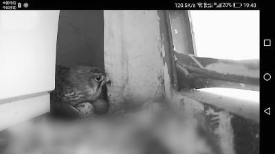 红隼搭窝窗外 居民家熬着高温停用空调一年