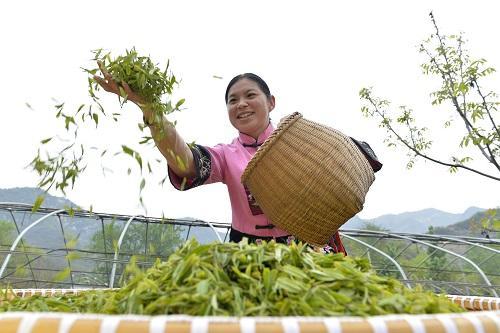 世界茶叶产量年均增长4.4% 西媒:得益于中国的推动