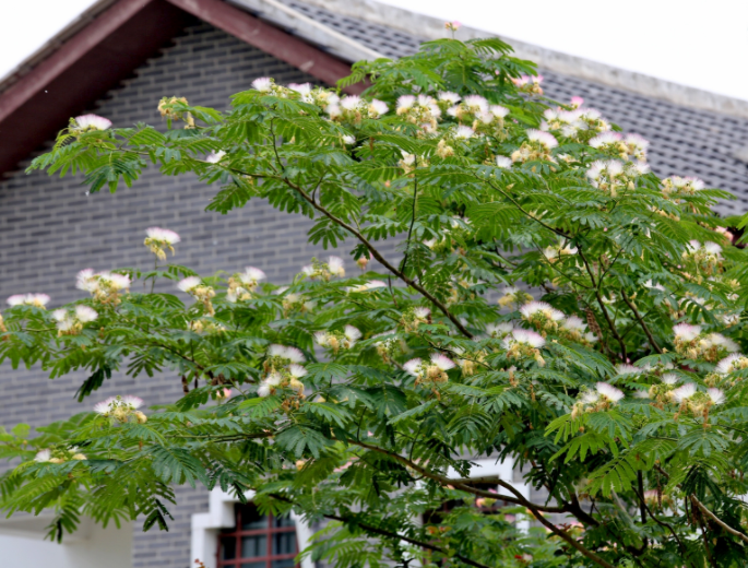 """湖北枝江:乡村民居合欢树开满绒花,中医当药,有""""合欢蠲怒""""说"""