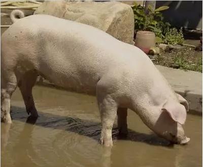 爱吃茶叶的猪,竟然有这么大名堂