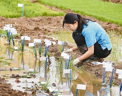 袁隆平团队在沙漠种植水稻初获成功