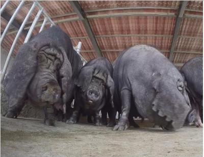 有一种猪,它一窝能生20多头小猪,您听说过吗?