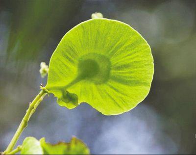极危云南金钱槭 在植物园开花结果