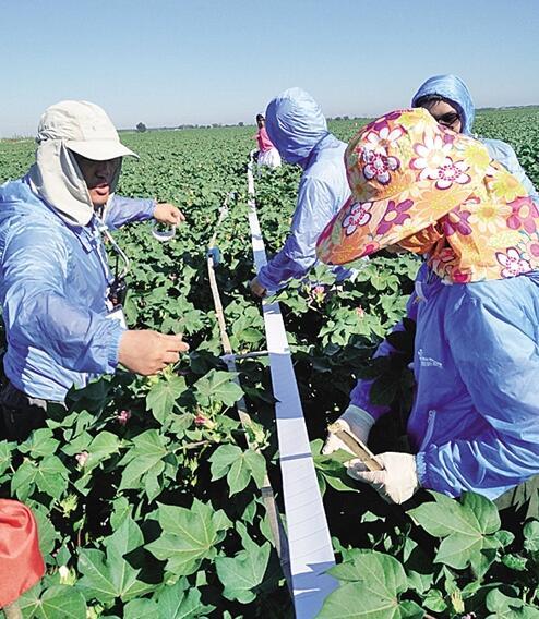 新疆:棉田环保新思路 培育害虫天敌 减少喷洒农药