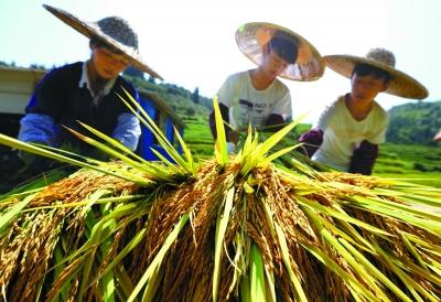 高山鱼稻迎来丰收季