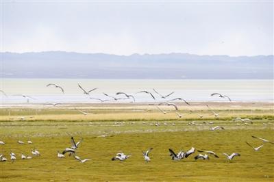 大批蓑羽鹤在新疆巴里坤草原停留