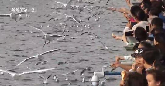 云南昆明:数千只红嘴鸥抵达昆明越冬