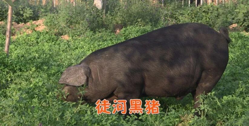 看徒河黑猪运动减肥秀 吃一敲就裂仁风西瓜