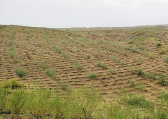 宁夏中卫沙坡头:麦草方格扎出绿色奇迹